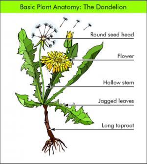 Dandelion | Herb Museum