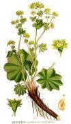 Lady's Mantle, Herb, plant, medicine, Alchemilla Vulgaris