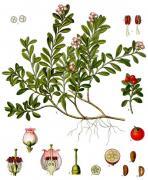 bearberry, kennikinnick, stoneberry, mealberry, mountain tobbacco