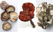 Reishi, Shiitake, Maitake, cancer
