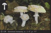 Amanita gemmata (Gemmed Amanita)