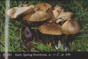 Entoloma vernum (Early Spring Entoloma)