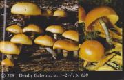 Galerina autumnalis (Deadly Galerina)