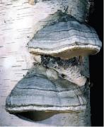 Polyporus fomentarius, Fomes fomentarius