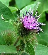 Burdock, Plant, herb, emollient