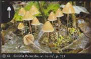 Conifer Psilocybe (Psilocybe pelliculosa).jpg