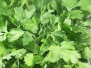 Coriander, spices, herb, plant,