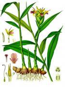 Zingiber Officinale, ginger, medicinal, herb, plant