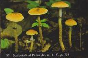 Scaly-stalked Psilocybe (Psilocybe squamosa).jpg