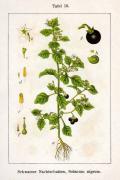 Diagram of Solanum nigrum