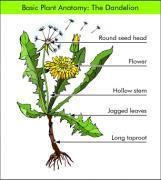Dandelion, plant, herb, medicine, anatomy