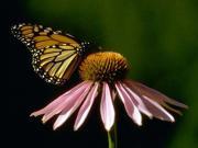 Echinacea, remedy, herb, plant, mouthwash tincture, antiseptic