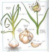 Garlic, food, herb, plant, health, anti-microbial