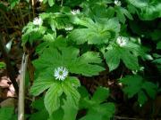 Hydrastis canadensis flowers