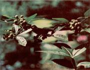 Prickly Ash (Zanthoxylum americanum)