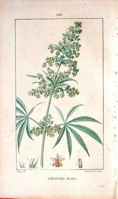 Print of Male Hemp (1815)