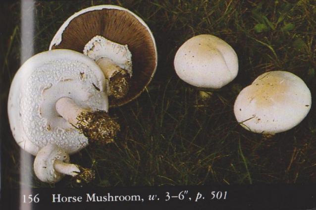 Agaricus arvensis aka Horse Mushroom