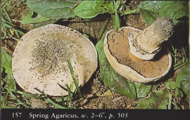 Agaricus bitorquis aka Spring Agaricus