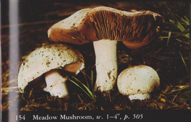 Agaricus campestris aka Meadow Mushroom