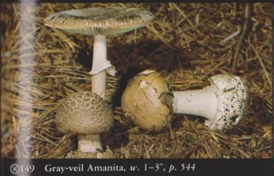 Amanita porphyria (Gray-veil Amanita)