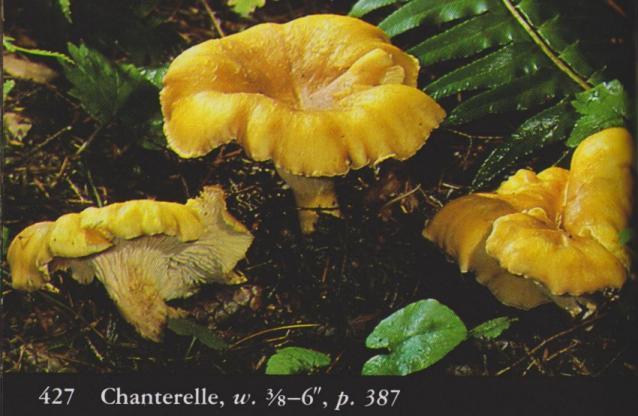Cantharellus cibarius aka Chanterelle