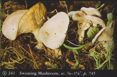 Clitocybe dealbata (Sweating Mushroom)