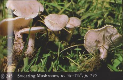 Clitocybe dealbata (Sweating Mushroom)2