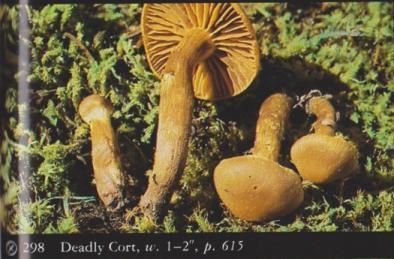 Cortinarius gentilis (Deadly Cort)