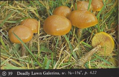 Galerina venenata (Deadly Lawn Galerina)