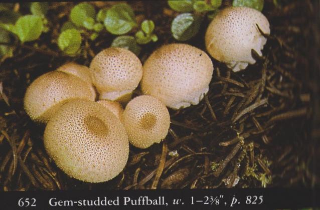 Lycoperdon perlatum aka Gem-studded puffball