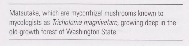 Tricholoma magniverlare aka Matsutake in the forest description