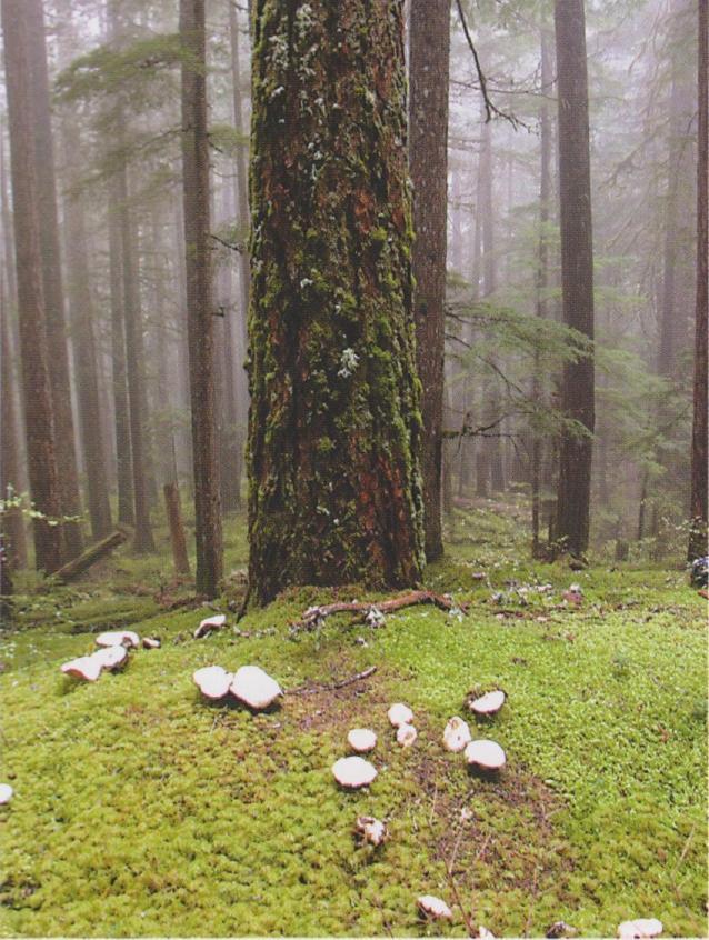 Tricholoma magniverlare aka Matsutake in the forest
