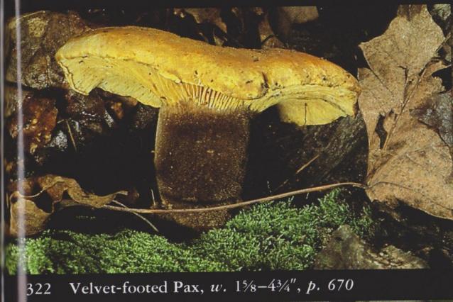Paxillus atrotementosus aka Velvet footed Pax