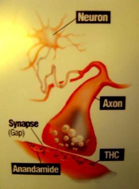 Anandamide & THC