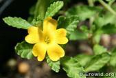Damiana, aphrodisiac, remedy, plant, herb, anti-depresseant