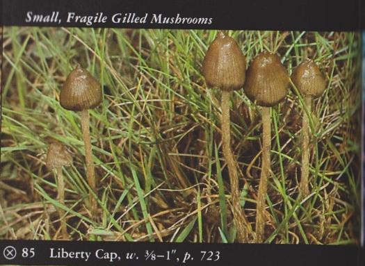 Psilocybe semilanceata (Liberty Cap) | Herb Museum