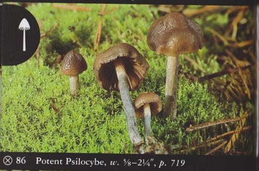 Psilocybe baeocystis (Potent Psilocybe) | Herb Museum