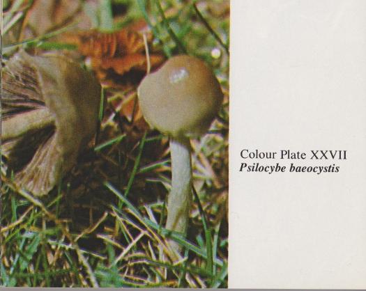 Psilocybe baeocystis (Potent Psilocybe)   Herb Museum