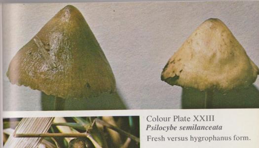 Psilocybe semilanceata (Liberty Cap)   Herb Museum