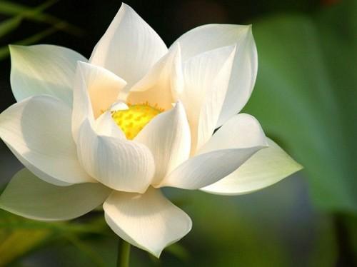 lotus flower  herb museum, Beautiful flower
